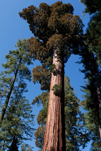 – Big Yosemite Tree