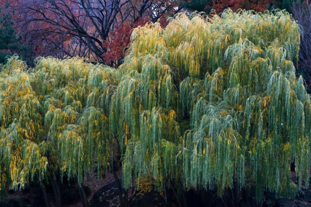 – Willows of Central Park